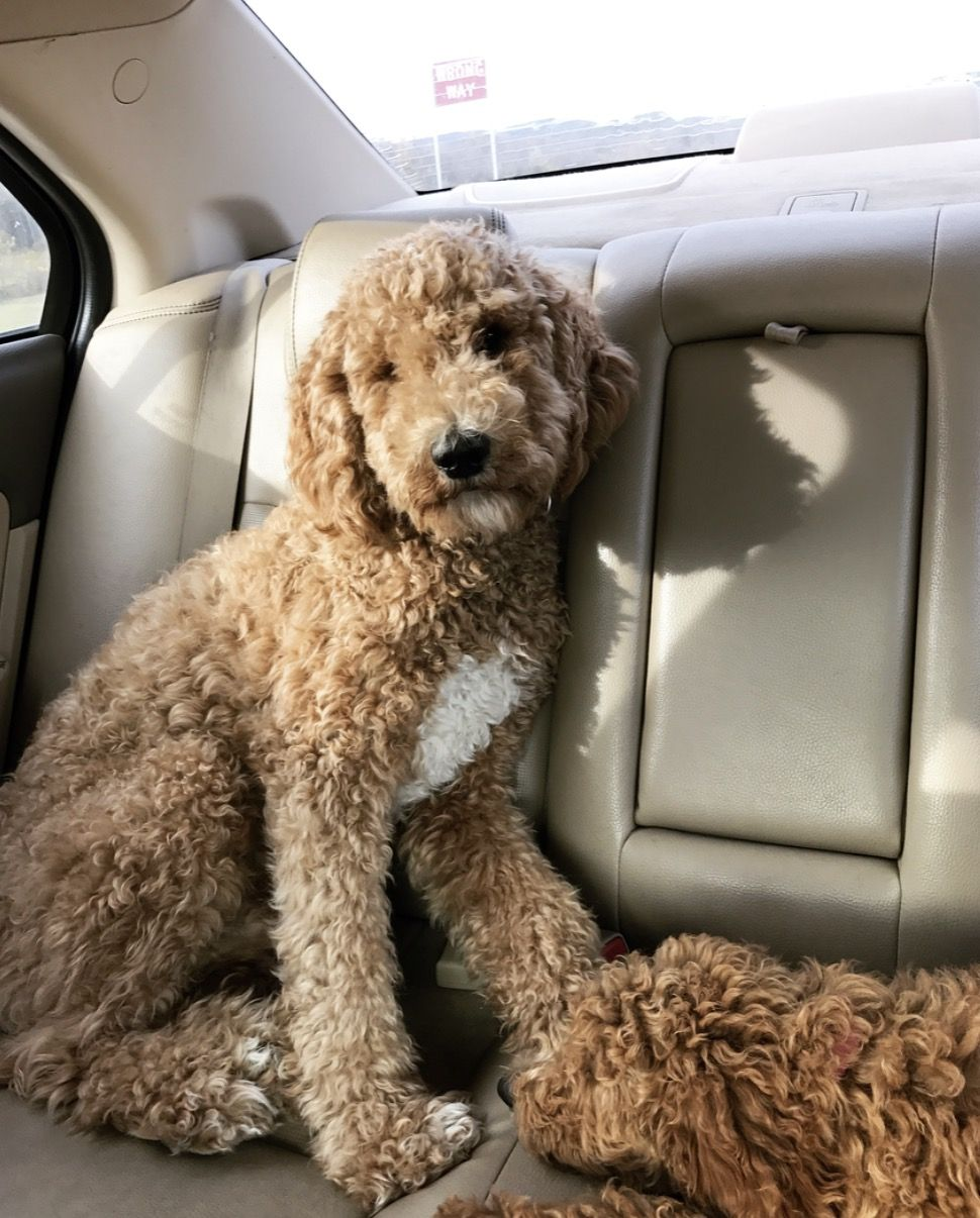 teddy bear cut goldendoodle | goldendoodles | dogs