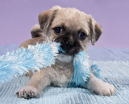 Pug And Cairn Terrier Pug Mixed Breeds Pug Mix Cute Animals