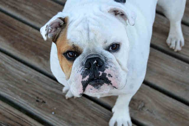 A Short Guide To The Most Popular Bulldog Breeds Doggy Wiki