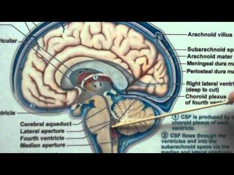 Meninges and Cerbral Spinal Fluic | All things NURSING | Pinterest