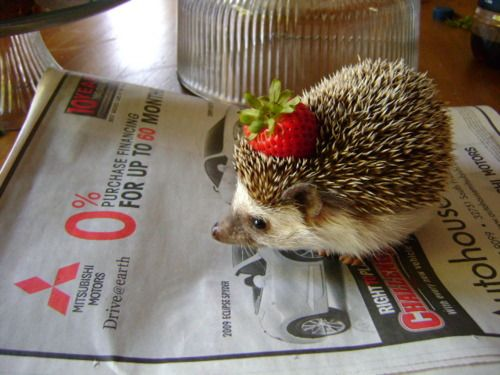 if you've been having a bad day  here's a hedgehog with a strawberry on its head. even if you haven't been having a bad day here's something to make your day better.