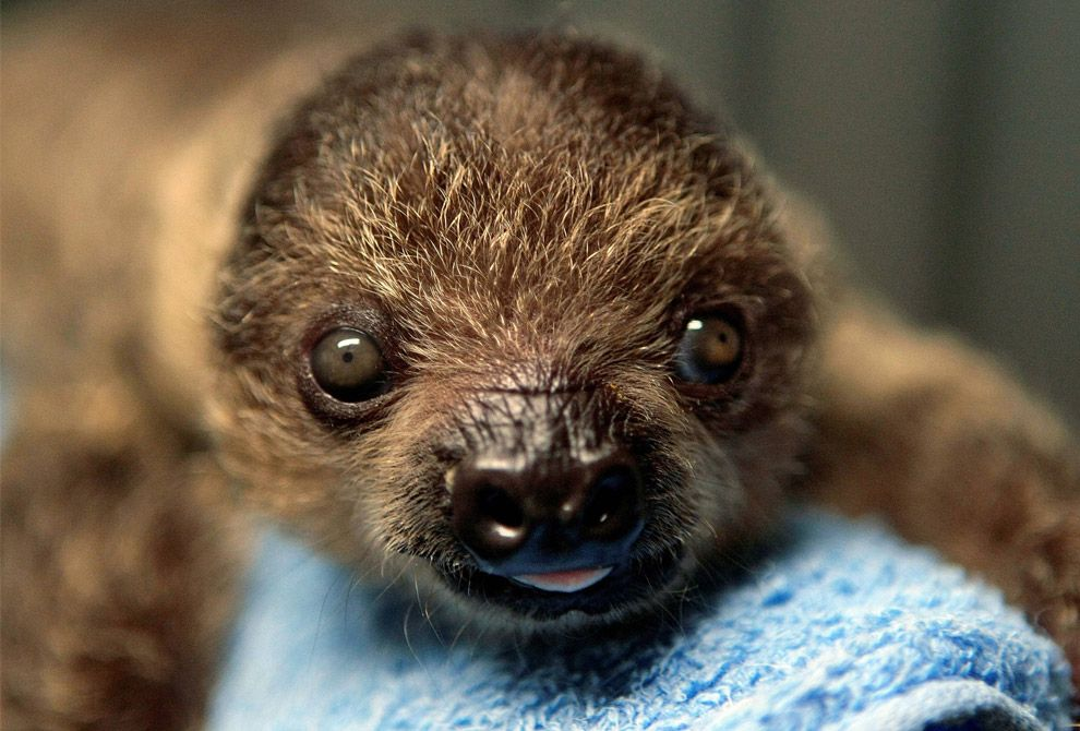 Pin by Jennifer Miller on AWWW Animals, Pet day, Baby sloth