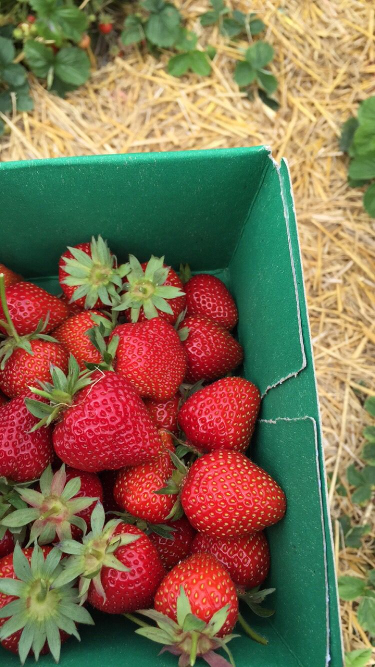 Freshly picked strawberries from the farm.