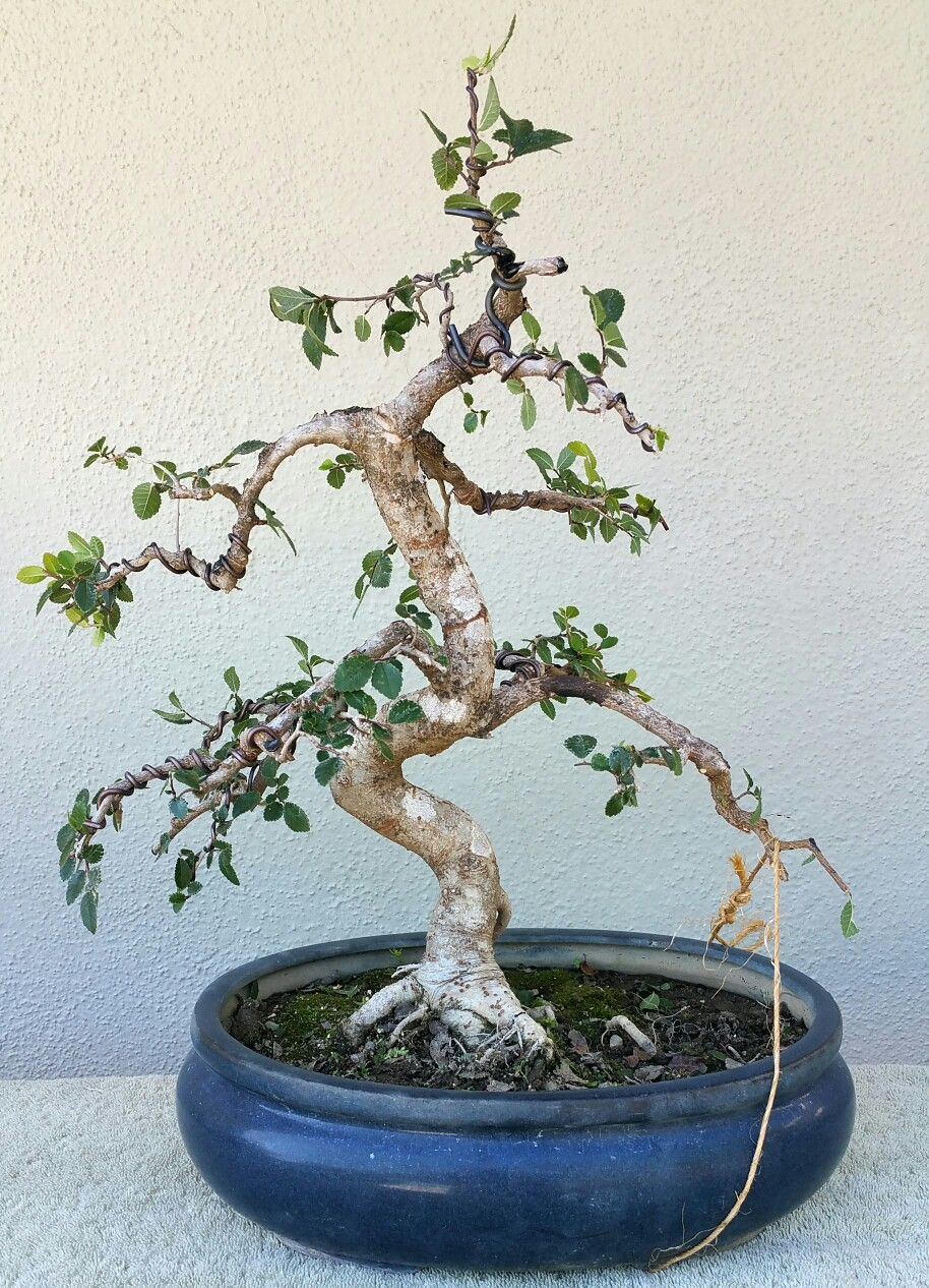 picture 2 i did some aggressive pruning on my chinese elm pre rh pinterest com