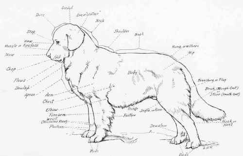 This Drawing Shows All The Anatomical Parts Of The Dog As Commonly