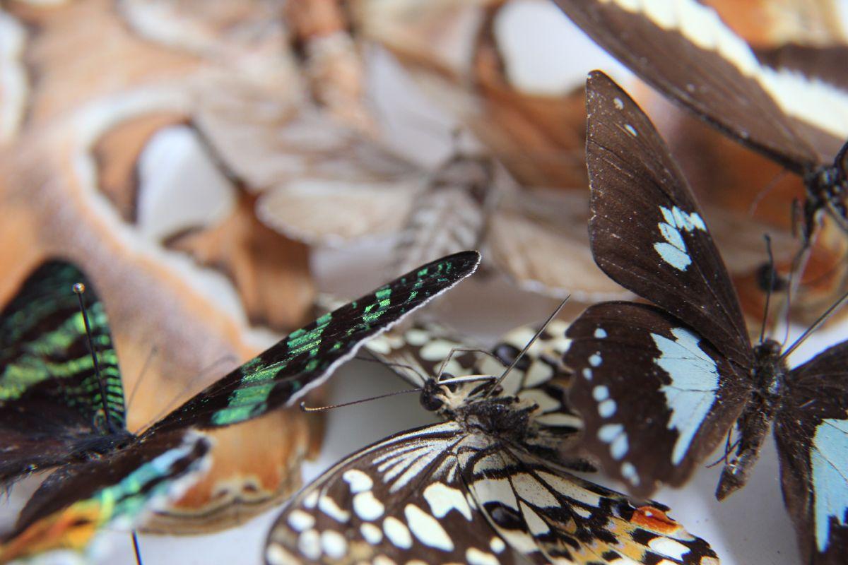 Pin Von Bertophil Auf Kafer Und Schmetterlinge In 2020 Schmetterling