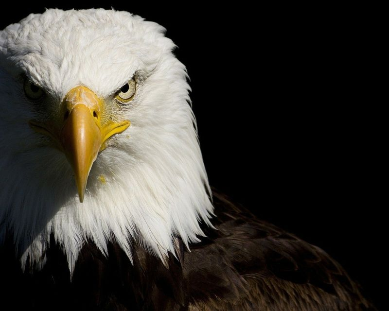 birds bald eagle [1280x1024] - See more on Classy Bro | Cool ...
