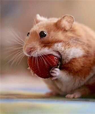 Strawberry Just Cute Cute Hamsters Animals Beautiful Animal Antics