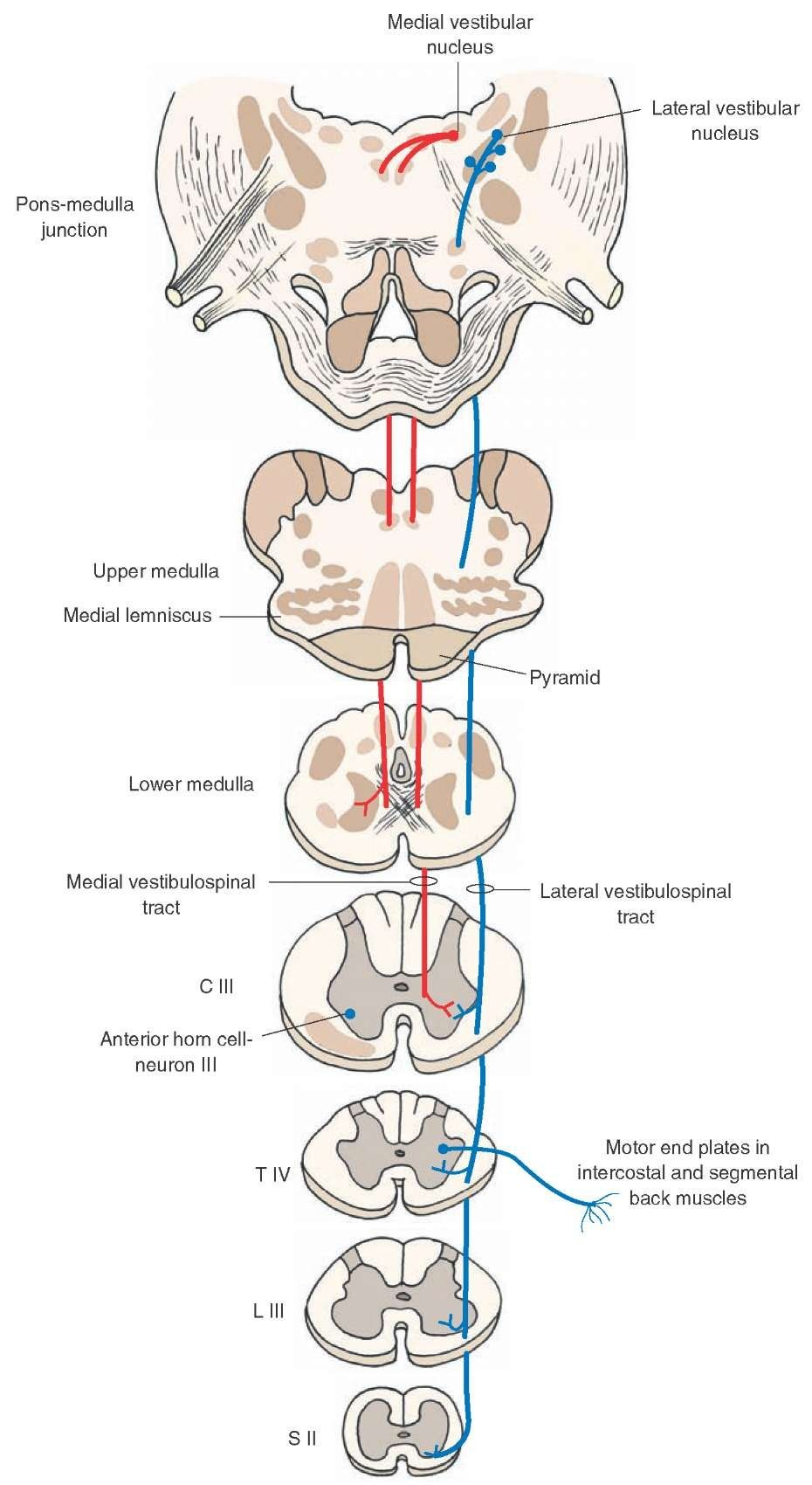 Vestibulospinal tracts | Neuroanatomy | Pinterest | Central nervous ...