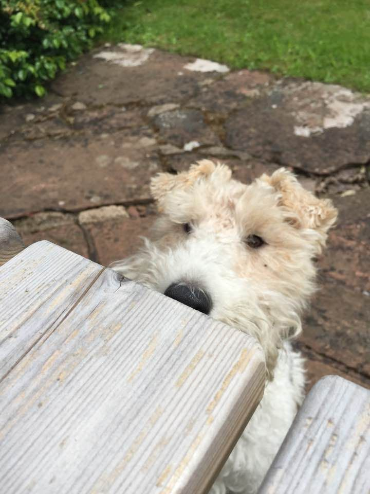 10 best Teddy the wire haired fox terrier images on Pinterest ...
