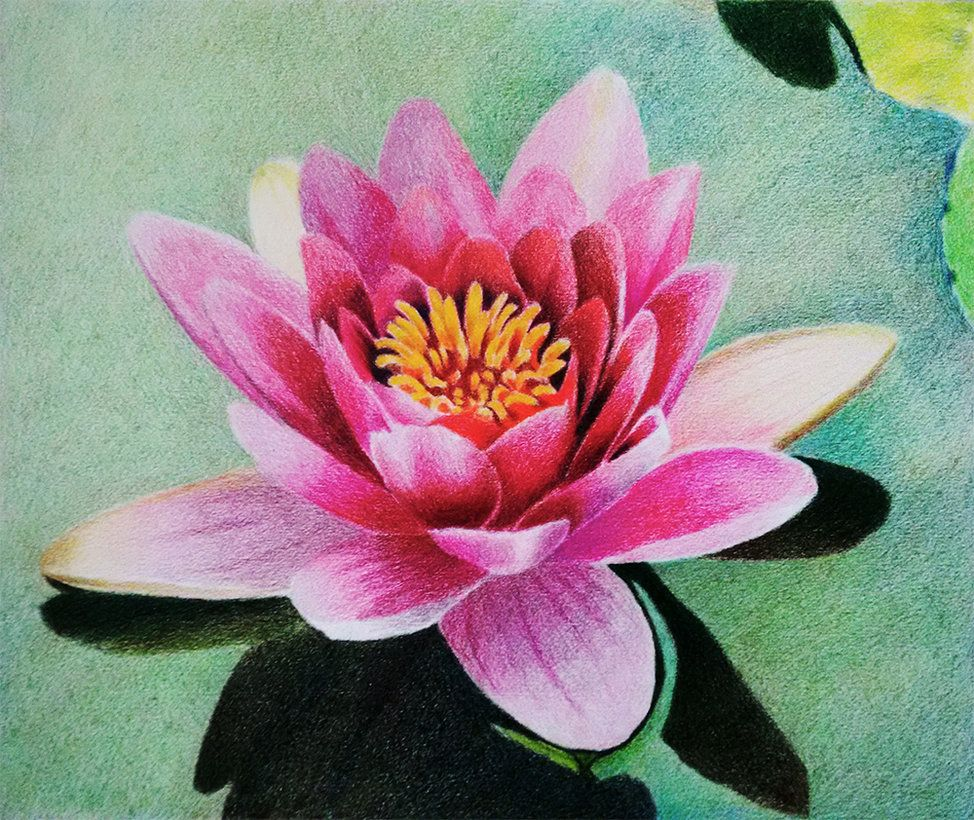 Water Lily Prismacolor Colored Pencil Layering By F A D I L