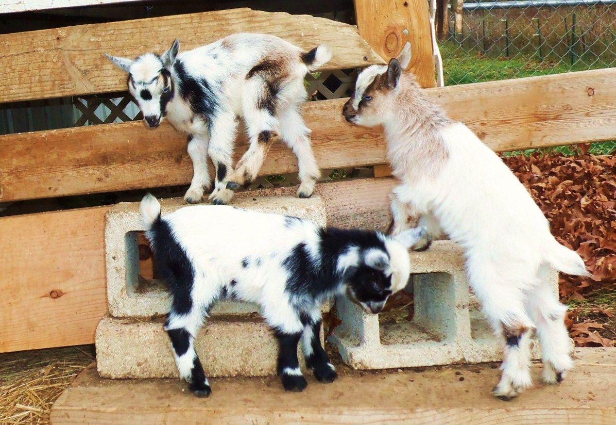 Baby goats climbing on cinder blocks!   goat love   Pinterest  Baby goats clim...