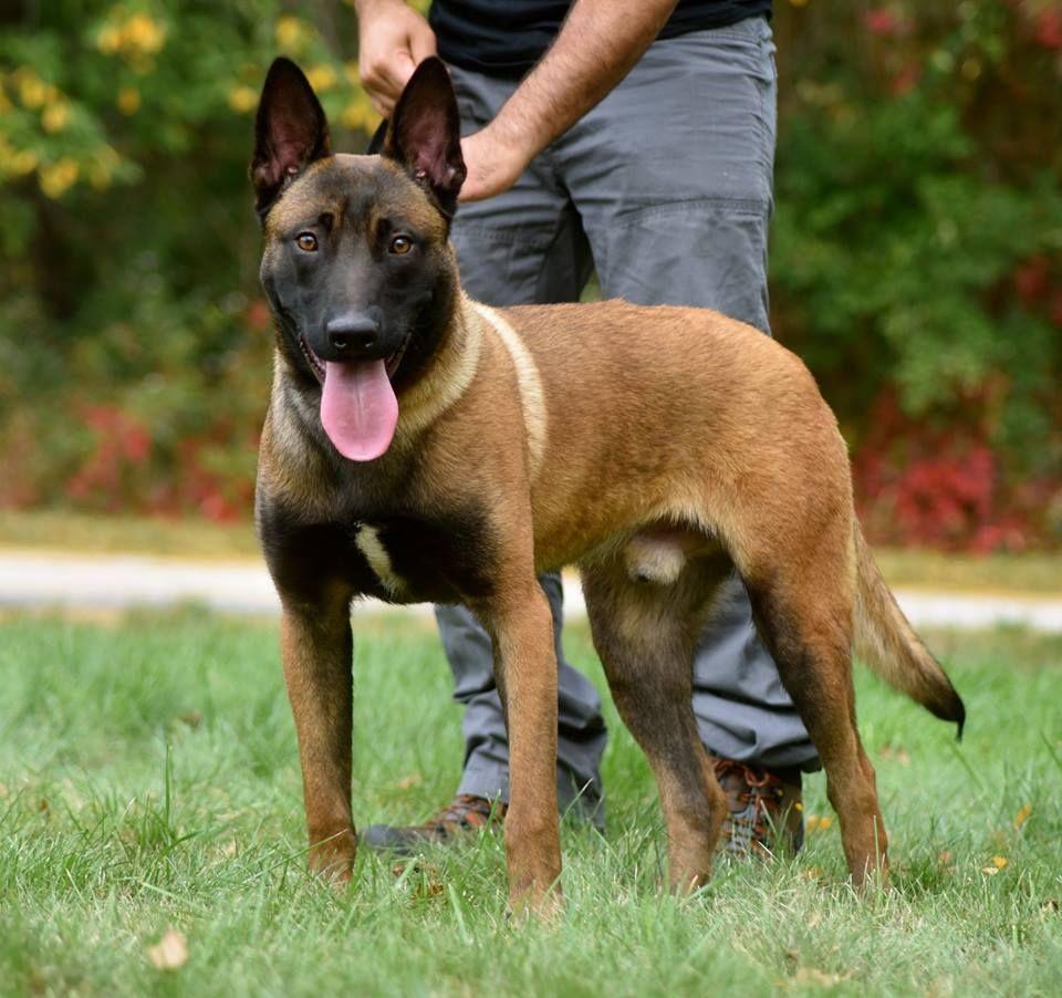 Hugo A Belgian Malinois Www Protectiondogsplus Com Belgian Malinois Dog Belgium Malinois Malinois