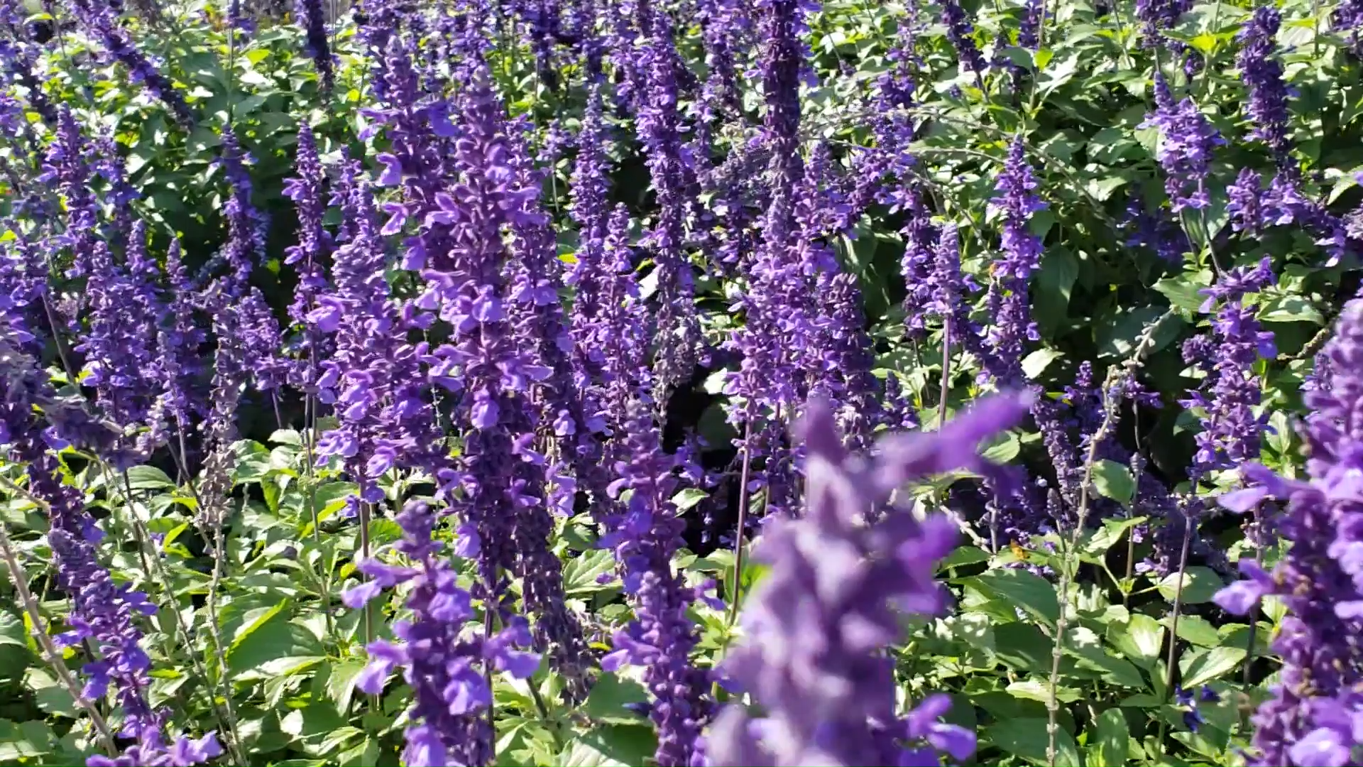 Annual Salvia to attract pollinators -   18 plants Outdoor grasses ideas