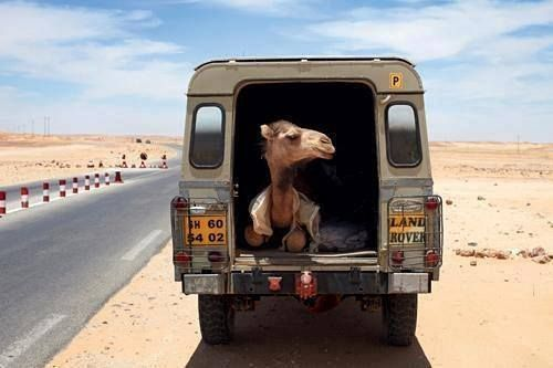 Yes, that is a camel in my Land Rover, but I am also happy to see you.