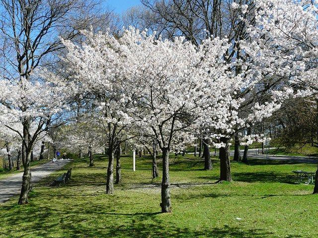 Toronto Wildlife Rose Family Yoshino Cherry Tree Shade Trees Tree