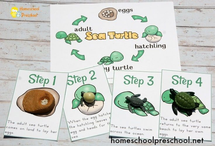 Preschool Sea Turtle Life Cycle Printable Unit Study Sea Turtle Life Cycle Turtle Life Cycle Turtle Life