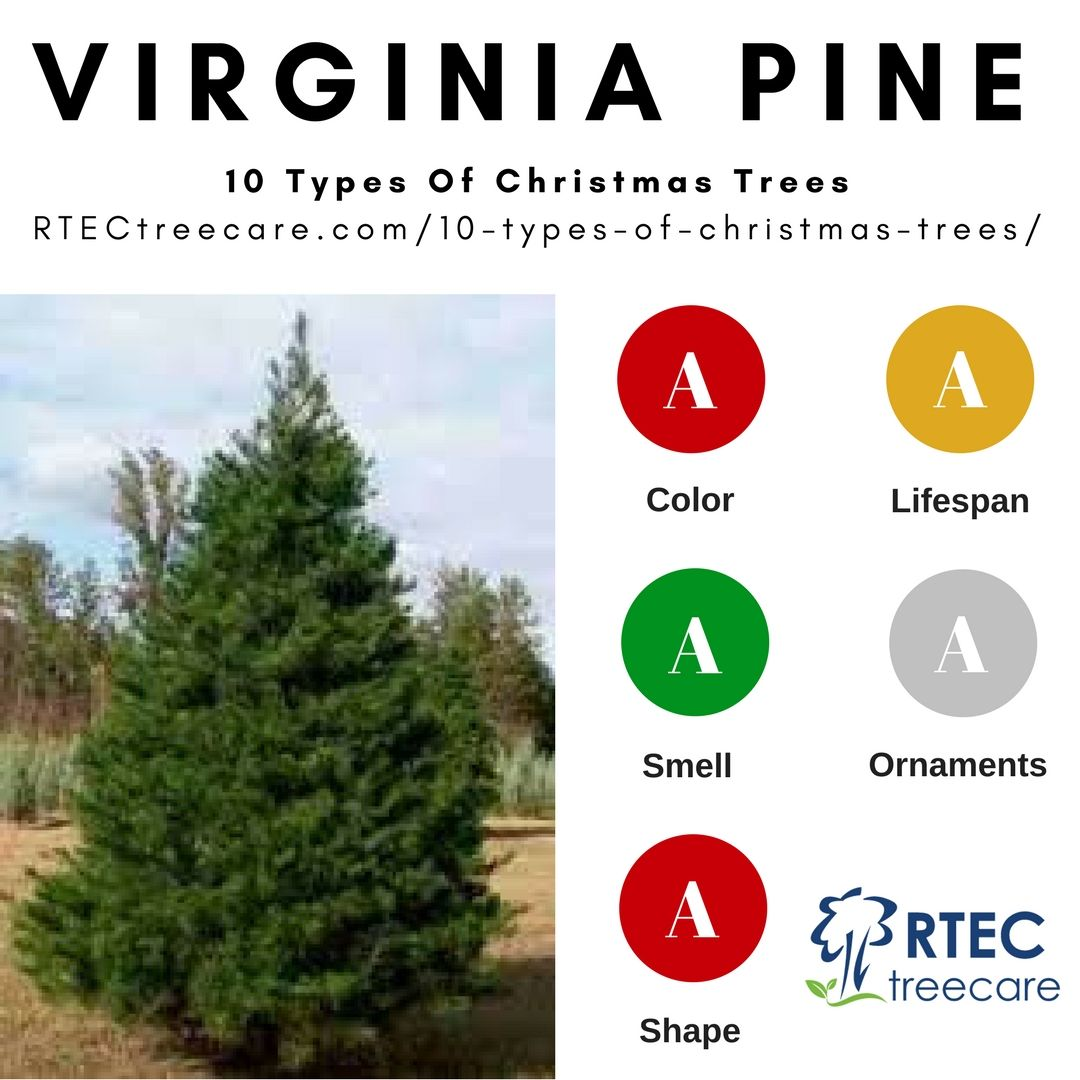 10 types of christmas trees find out which christmastree is best for your familys - Best Christmas Tree Type