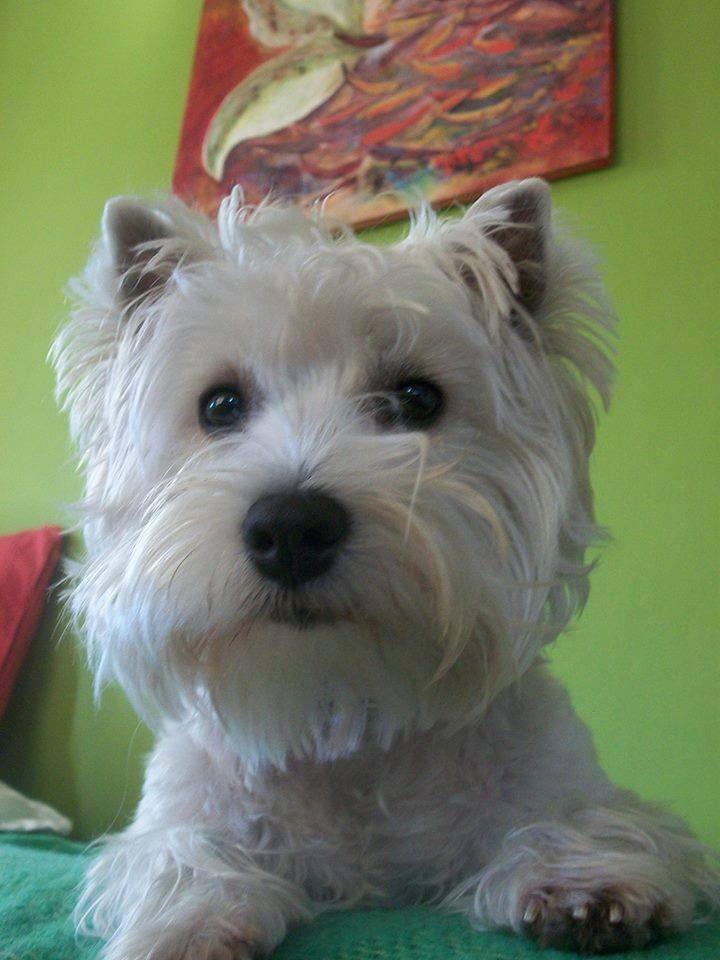 westie Amel Westie terrier, West highland white terrier
