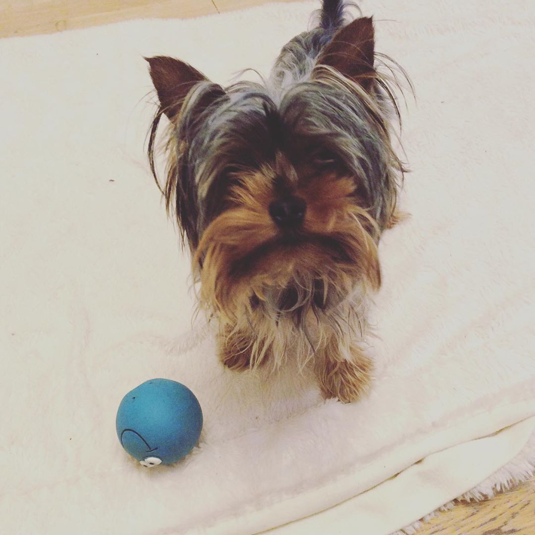 Can we play ball please? 😆🐶👍😍❤️ #yorkiesofinstagram #yorkie #yorkshireterrier #cute #ilovemydog #dogsofinstagram #do...