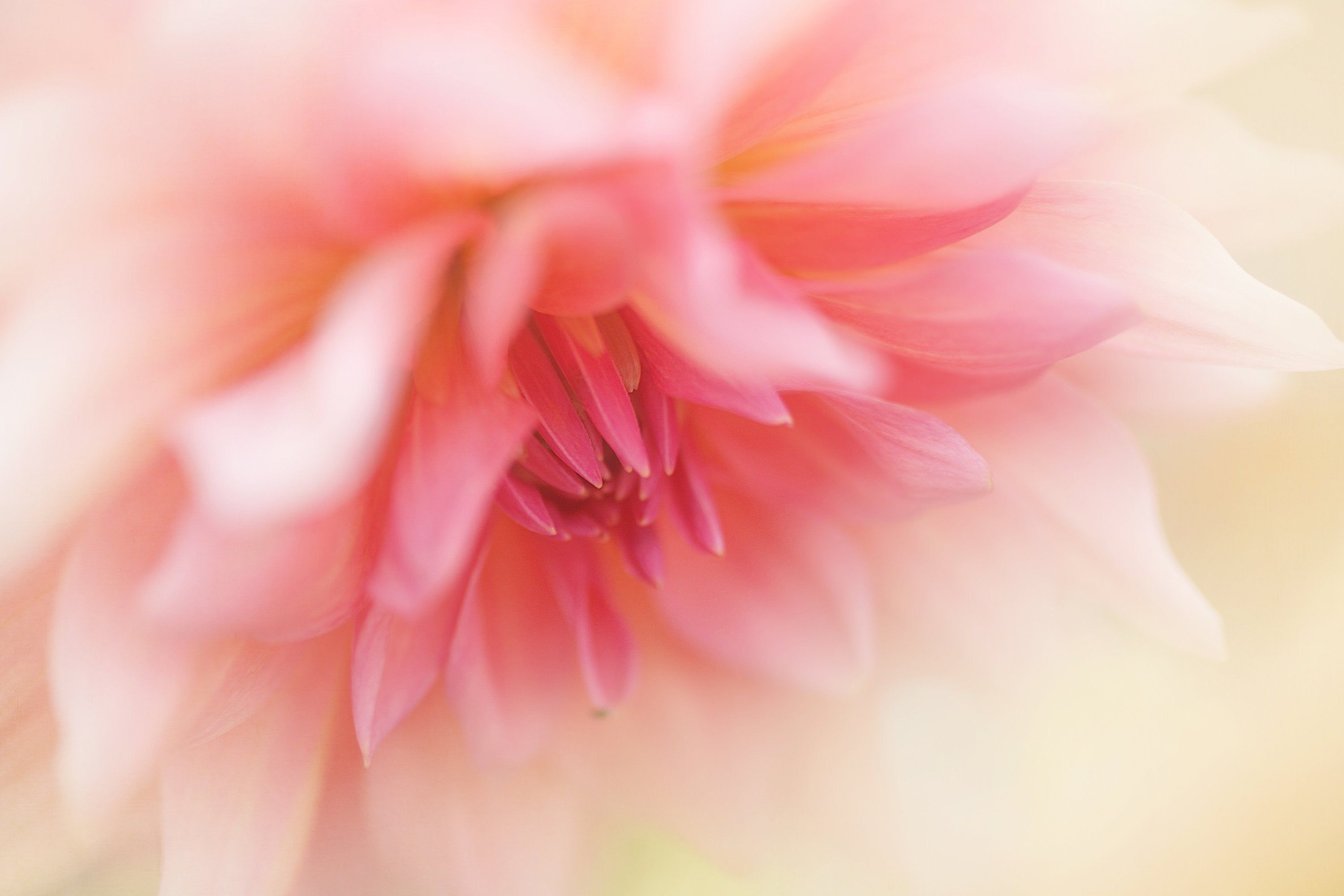 Soft Pink Dahlia Wall Art Ethereal Pink And Yellow Floral Photo Macro Flower Photo Dahlia Art Living Room Decor Dreamy Art Rustic Photography