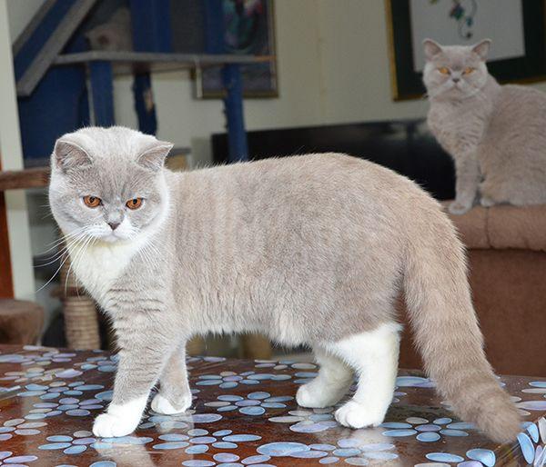 Golancat British Shorthair Cats British Shorthair Cats British Shorthair Kittens British Shorthair