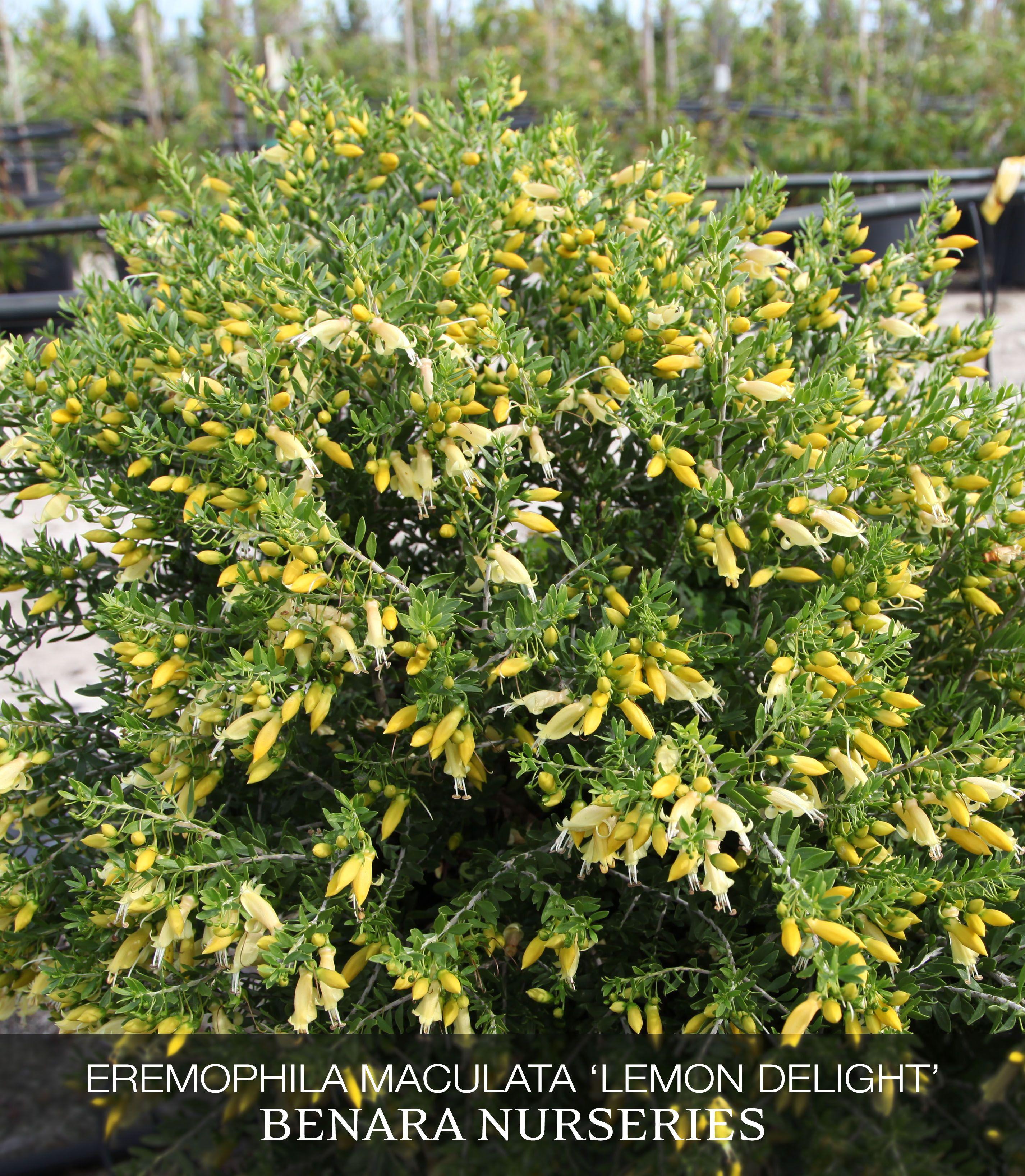 Eremophila maculata lemon delight july 2015 feature for Garden features australia