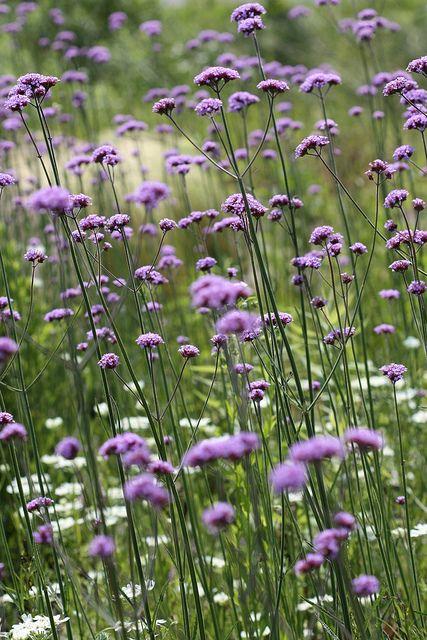 Meadow Garden Late May Meadow Garden Beautiful Flowers Purple Garden