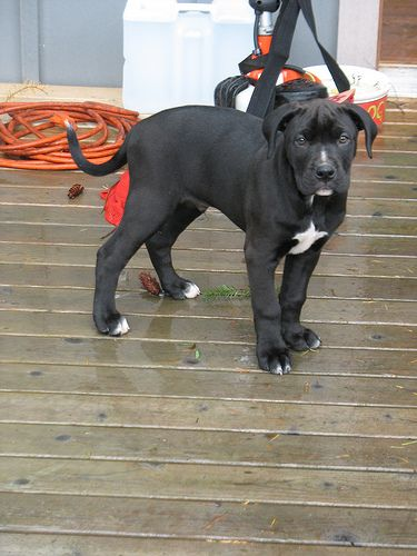 Black american pitbull terrier and lab mix