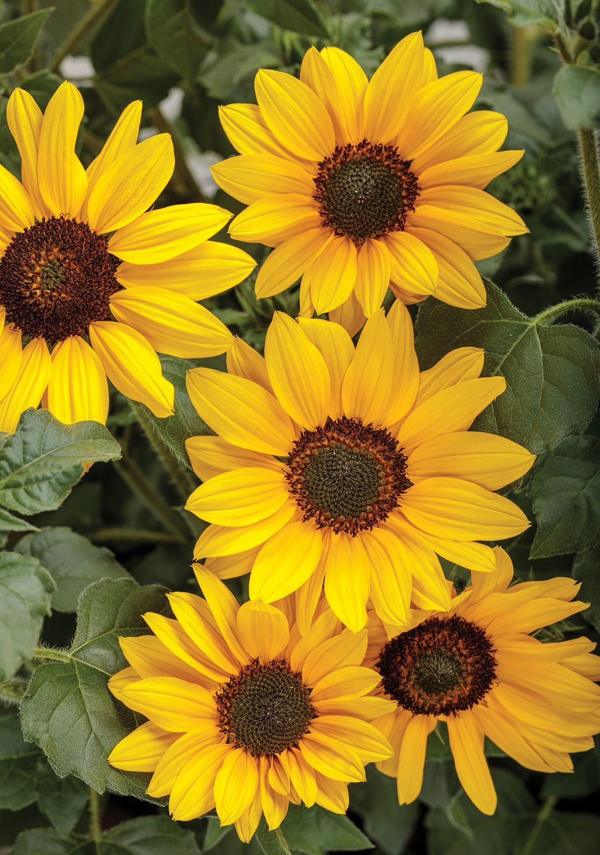 Suncredible Yellow Sunflower Sunflower Pictures Sunflower Flower Yellow Sunflower