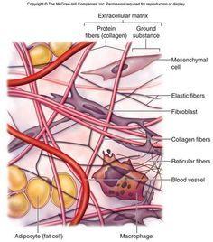loose connective tissue diagram google search anatomy rh pinterest com connective tissue diagram labeled adipose connective tissue diagram