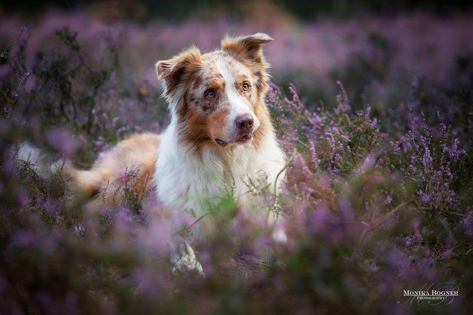Idee Von Kjs Auf Photos Hunde Australian Shepherds Hunde Fotos