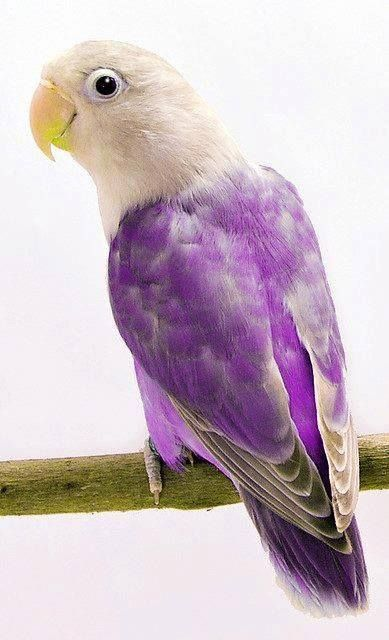Purple parakeet <3