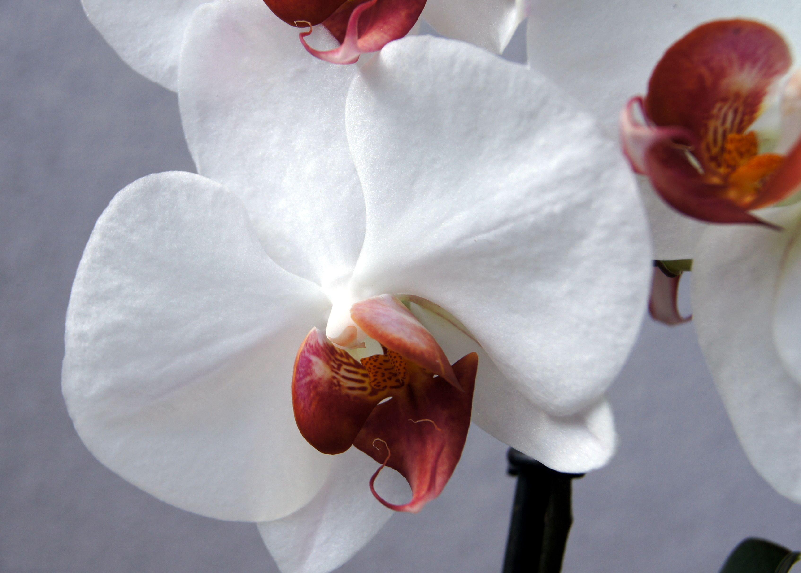 Phalaenopsis Hybride Noid Weiss Mit Roter Lippe Orquideas