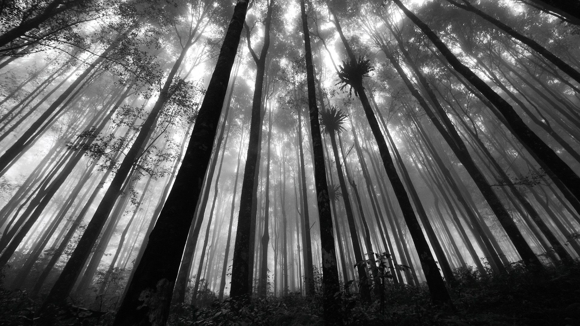 Forest In Greyscale Hd Wallpaper Forest Wallpaper Black And
