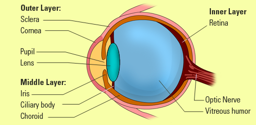 The Diagram Of The Eye The Organ For The Sense Of Sight Senses