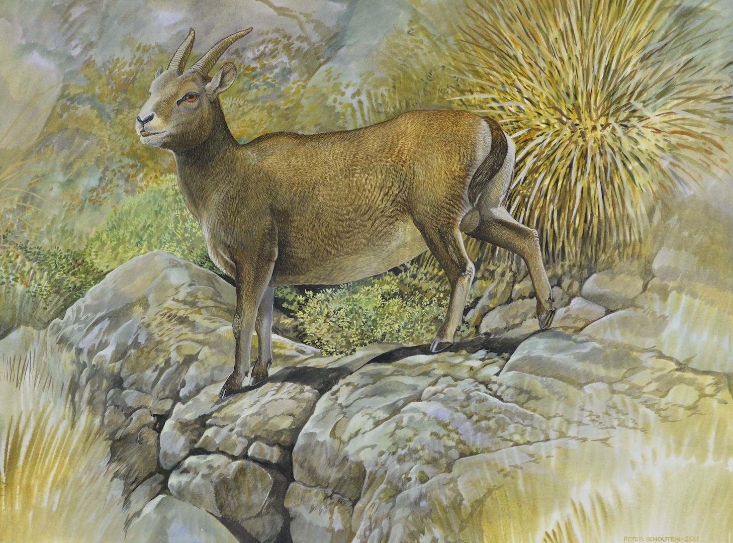 Name Balearic Goat Species Myotragus Balearicus Location Balearic Islands Size Of Artwork 460 X 620 W Wildlife Artists Prehistoric Animals Animals Artwork