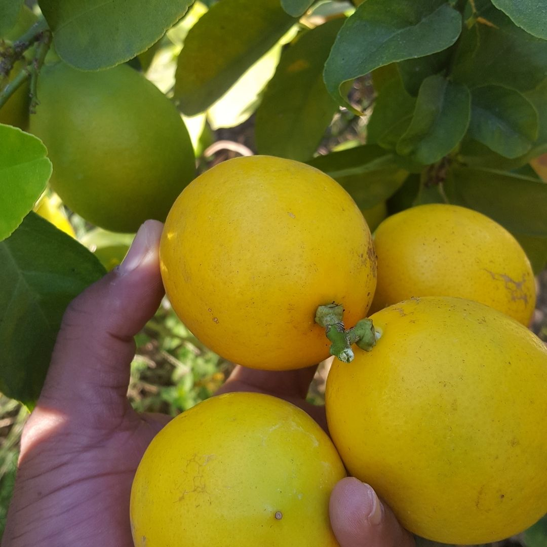 Pulled fresh lemons off of tree today All natural lemons