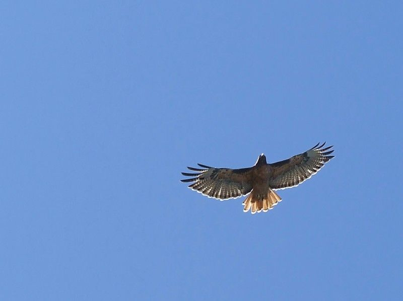 Hawk on the wing.