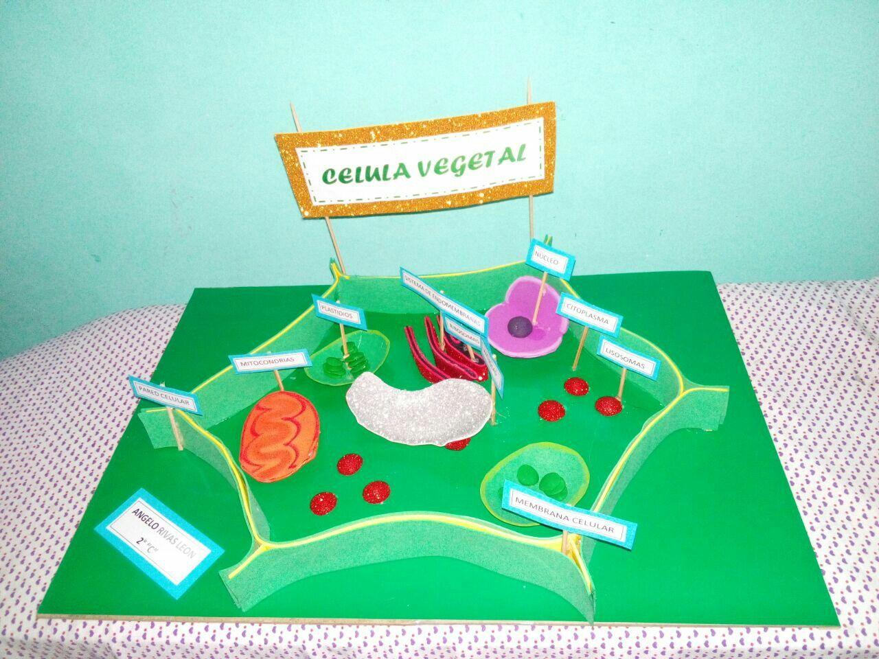 Célula Vegetal Maqueta Célula Vegetal Celulas Y