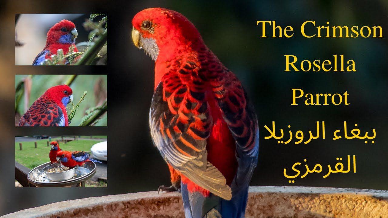 The Crimson Rosella Parrot ببغاء الروزيلا القرمزي Some Beautiful Pictures Parrot Beautiful Pictures