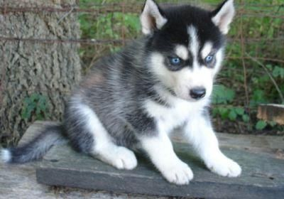 Fantastic Puppy Blue Eye Adorable Dog - dd99a3037e5ad25ad73fad6f816afc5e  Best Photo Reference_60312  .jpg