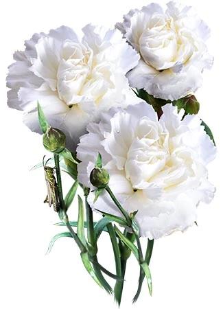 Grenadin White Carnation Seeds Dianthus Caryophyllus In 2020 White Carnation Dianthus Caryophyllus Carnations