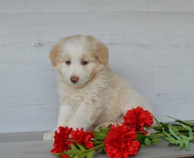 Ellie female mini aussie doodle 695 that doggy in the