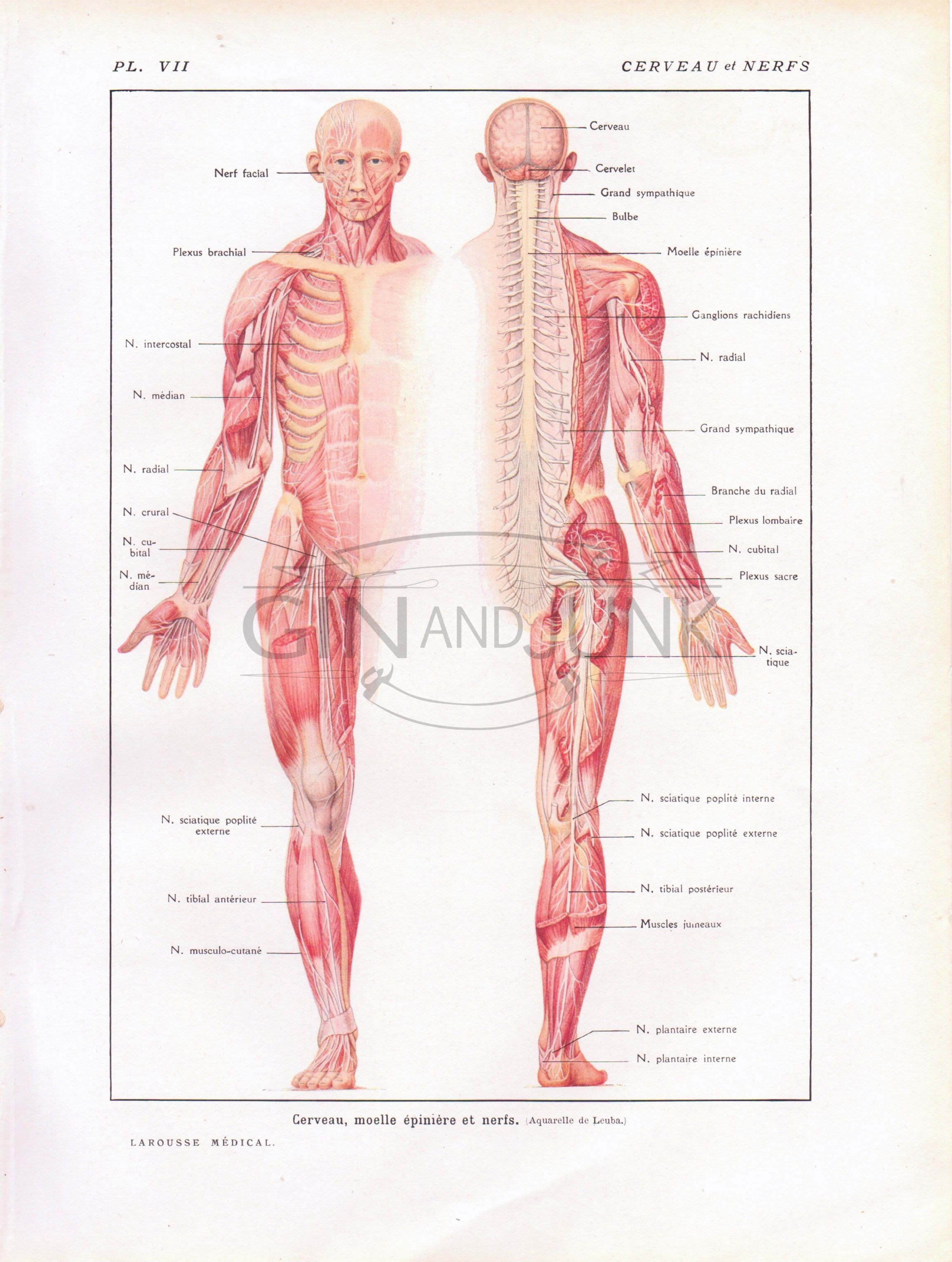 Anatomical print, muscles diagram, central nervous system, human ...