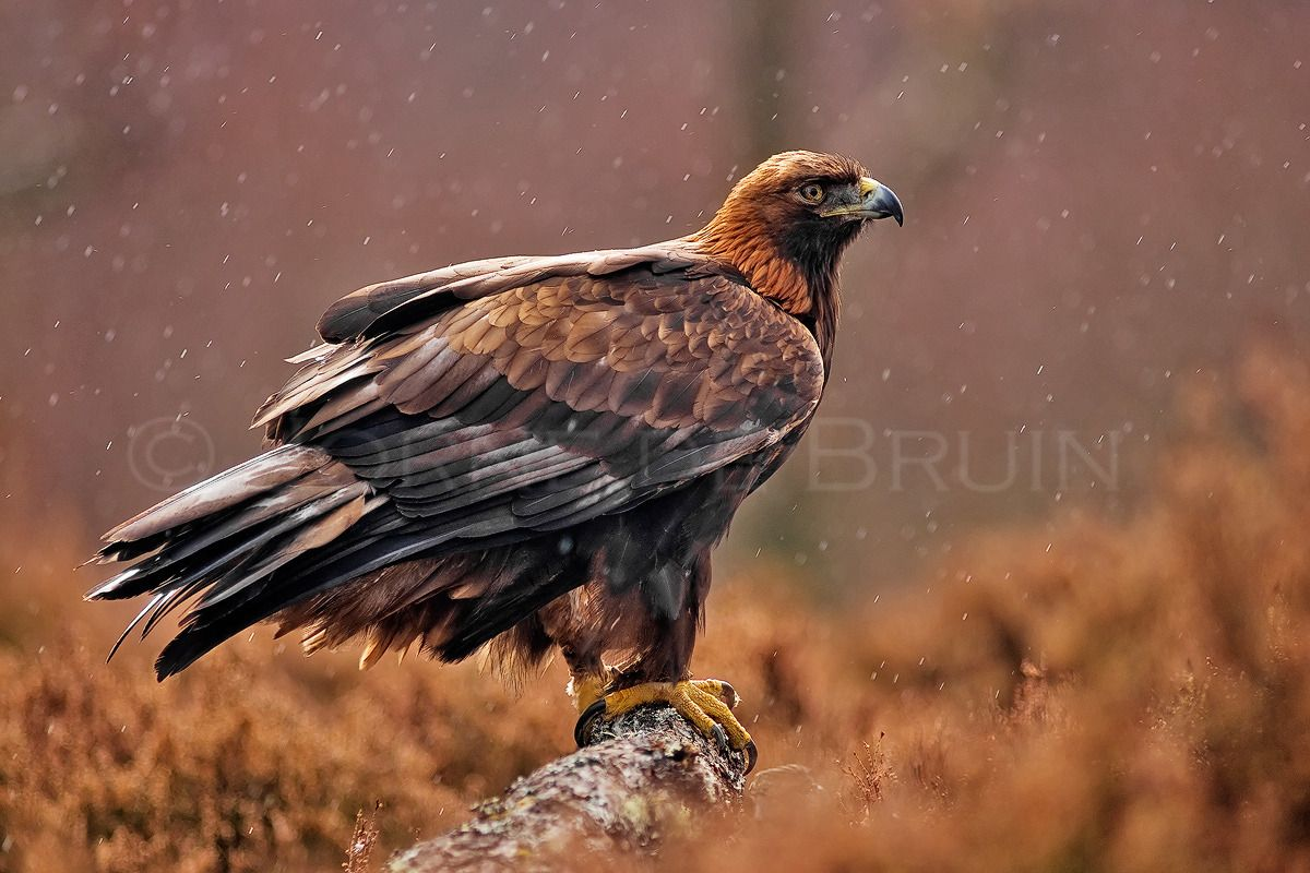 16+ Bald eagle spirit animal ideas in 2021