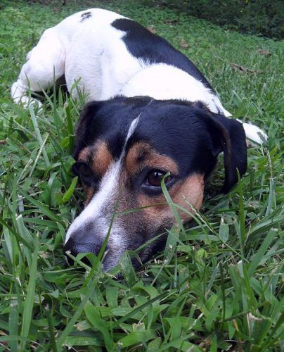 Meet KOBE a Petfinder adoptable Beagle Dog | Barium Springs, NC | Kobe is a wonderful young boy, probably about 3-years-old, who is needing a 'forever' home. He...