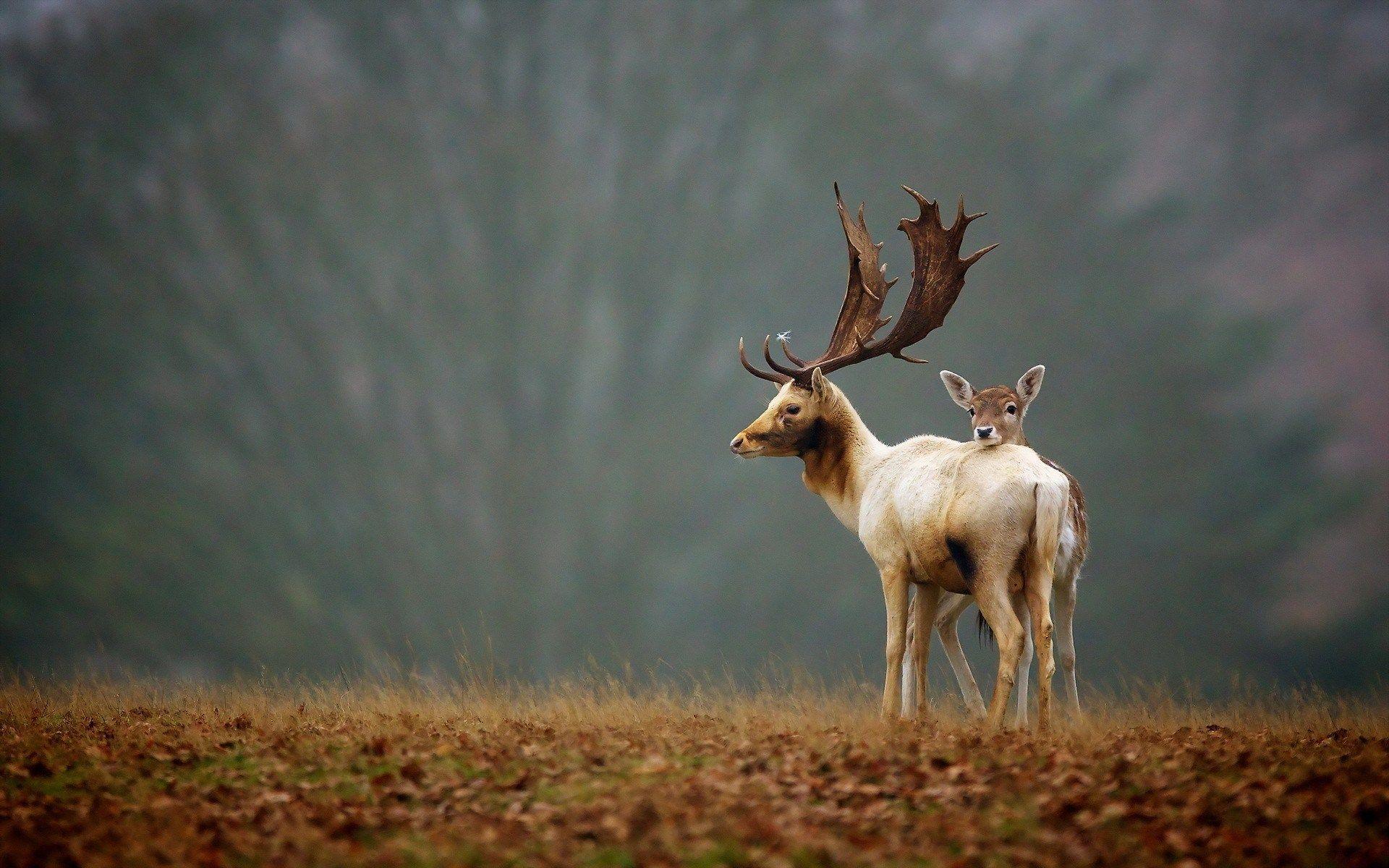 deer animals nature | animals deer, moose & reindeer | pinterest