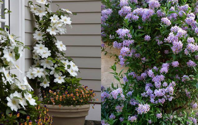 Découvrez des variétés de plantes grimpantes adaptées aux petits ...