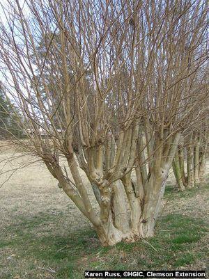 Hgic 1009 Crape Myrtle Pruning Extension Clemson University South Carolina Crape Myrtle Myrtle Tree Patio Landscape Design